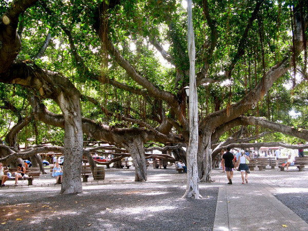 Free things to do on Maui - Sit under the banyan tree in Lahaina