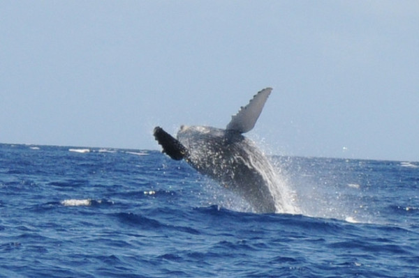 Free things to do on Maui - Whale watching on west maui from the shore