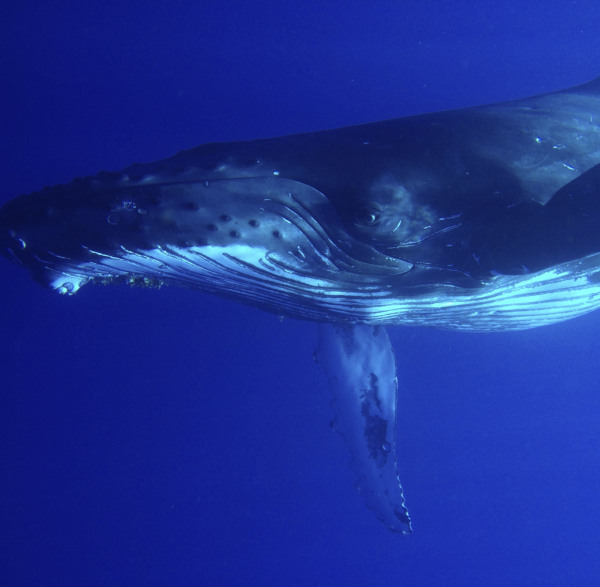 The best time to go whale watching in maui is January, february and March