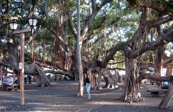 Maui adventure: Sit beneath the banyan tree